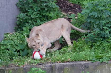 London Zoo lions take part in World Cup festivities