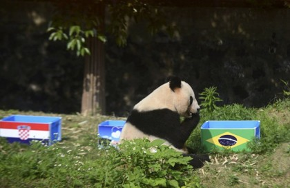 "Giant panda Ying Mei sits next to a box of food with Brazilian flag on during an event ""Panda predicts World Cup results"" ahead of the 2014 World Cup opening match between Brazil and Croatia, in Yangzhou"
