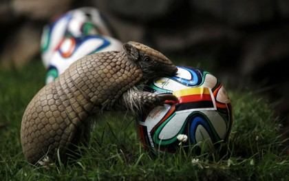The armadillo called Norman, Germany's World Cup oracle, approaches the soccer ball representing Germany as he makes his prediction for the team's opening World Cup match against Portugal on June 16, at the zoo in the western city of Muenster